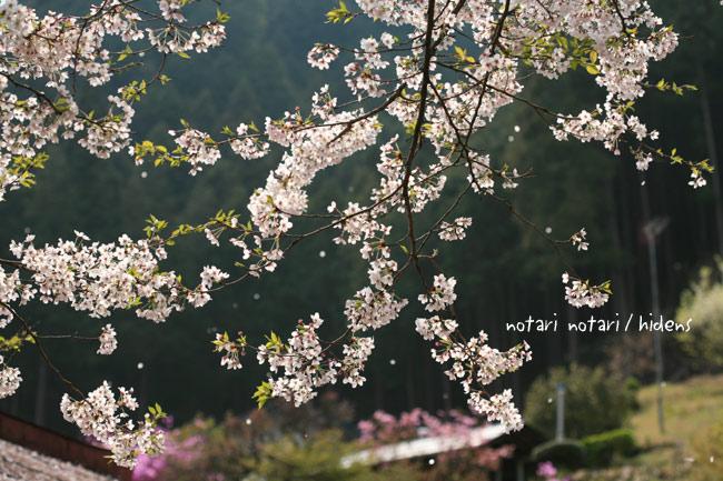 龍珠院脇の桜