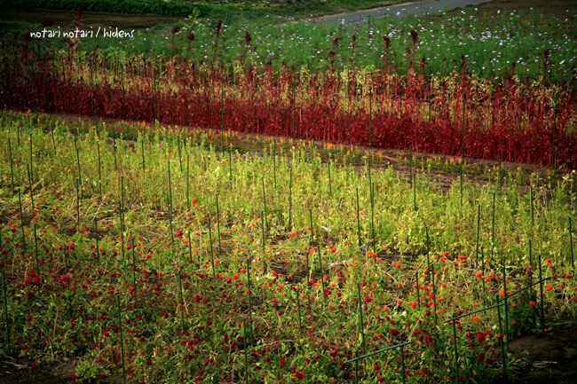 鶴川 ケイトウの花