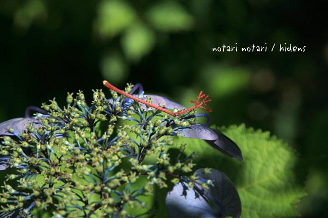 鎌倉 光則寺の紫陽花