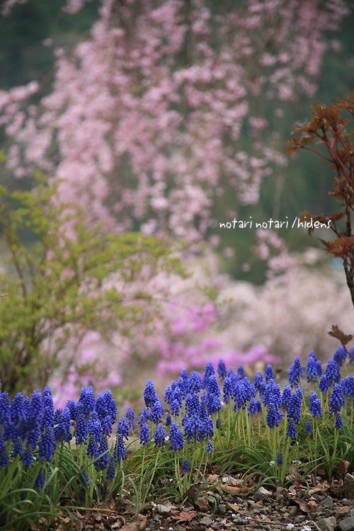 龍珠院のムスカリと枝垂れ桜
